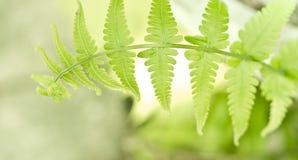 Молодые листья папоротника. Стоковое фото RF