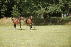 Молодые лошади воюют на выгоне Стоковая Фотография RF