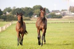 Молодые лошади, который побежали на выгоне Стоковые Изображения
