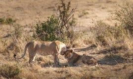 Молодые львы в национальном парке Maasai Mara - Кении стоковые изображения