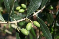 Молодые малые зеленые оливки Стоковые Изображения RF