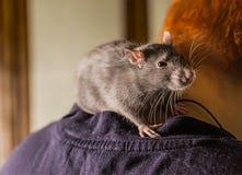 Молодые меховые серые прогулки любимчика крысы учат связывают с людьми сидят на задних хитро взглядах на камере на телезрителе стоковая фотография rf