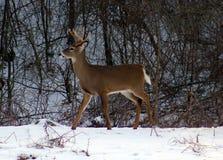 Молодые мужские олени во время кабеля зимы мужского белого buck Стоковые Фотографии RF