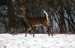 Молодые мужские олени во время кабеля зимы мужского белого buck Стоковое Изображение RF
