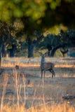 Молодые мужские олени на заходе солнца в испанском dehesa, на национальном парке Monfrague, эстремадура, Испания стоковые изображения rf