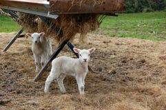 Молодые овечки готовя ринв Стоковое Изображение RF