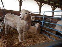 Молодые овцы на аграрной ярмарке Стоковое Фото