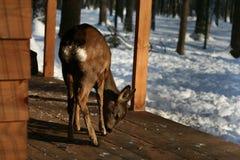 Молодые олени в поисках еды стоковые фотографии rf
