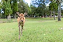 Молодые олени идя в парк стоковая фотография