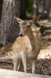 Молодые олени или пыжик Стоковая Фотография