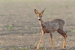 Молодые олени на злаковике утра Стоковое Фото