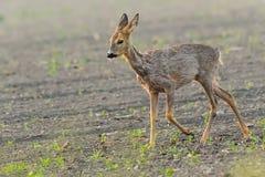 Молодые олени на злаковике утра Стоковое фото RF