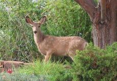 Молодые олени путешествуя через двор района стоковые изображения rf