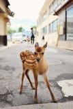 Молодые олени (пыжик) в Miyajima Стоковая Фотография