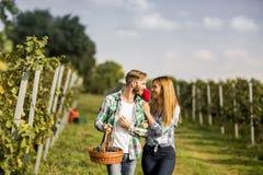Молодые пары жать виноградины в винограднике Стоковое Фото