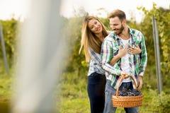 Молодые пары жать виноградины в винограднике Стоковая Фотография