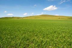 Молодые поле и холмы плантации около Ivinghoe светят Стоковая Фотография