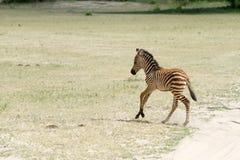 Молодые портреты зебры в национальном парке Tarangire, Танзании Стоковое Изображение