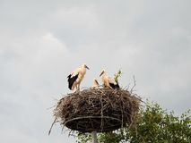 Молодые птицы аиста в гнезде, Литве Стоковые Фото