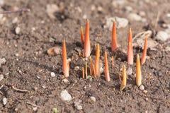 Молодые ростки расти заводов Стоковые Фотографии RF