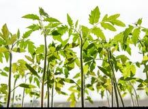 Молодые ростки томата на светлой предпосылке стоковая фотография