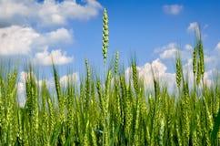 Молодые уши зерна против голубого неба Стоковые Фотографии RF