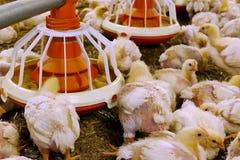 Молодые цыплята на ферме стоковое фото rf