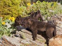 Молодые щенята волка Стоковые Изображения RF