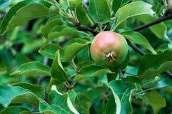 Молодые яблоки на ветви стоковые фото