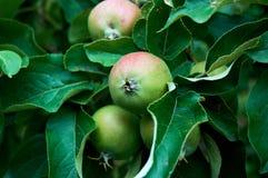 Молодые яблоки на ветви стоковые изображения rf