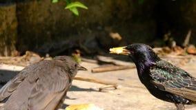 Молодые starlings в городском саде дома сток-видео