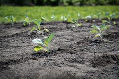 Молодые vegetable заводы растя в саде стоковые фотографии rf