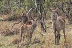 Молодые waterbucks в кусте Стоковое Изображение RF