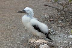 Молодым замаскированный цыпленоком черно-белый конец олуха вверх стоковые фотографии rf