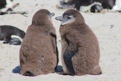 2 молодых африканских пингвина Стоковое Изображение RF