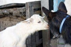 2 молодых белых козы играют с собакой : стоковые фотографии rf