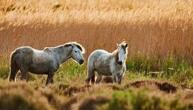 2 молодых белых лошади Camargue Стоковое Фото