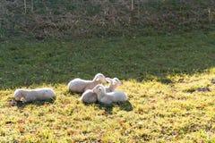 4 молодых белых овечки прижимаясь и кладя рядом друг с другом на травянистое поле стоковое фото