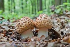 2 молодых гриба растут в древесинах Съестные грибки Аман Blusher Стоковая Фотография