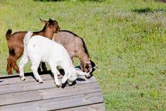 3 молодых дет козы играя на деревянной платформе в поле Стоковое фото RF
