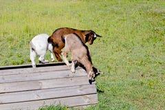 3 молодых дет козы играя на деревянной платформе в травянистом paddo Стоковое фото RF