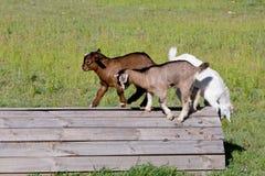 3 молодых дет козы играя на деревянной платформе в травянистом paddo Стоковое Изображение