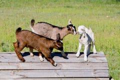 3 молодых дет козы стоя на деревянной платформе Стоковые Изображения