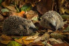 2 молодых ежа в листьях осени Стоковое фото RF