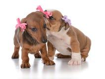 2 молодых женских щенят Стоковая Фотография