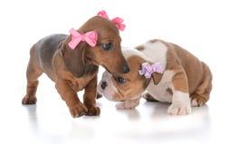 2 молодых женских щенят Стоковое фото RF