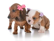 2 молодых женских щенят Стоковая Фотография RF
