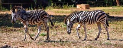 2 молодых зебры идя на поле сухой травы стоковые фото
