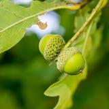 2 молодых зеленых жолудя Стоковое Фото