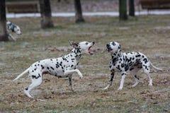 2 молодых красивых далматинских собаки бежать outdoors в зиме Стоковое Изображение